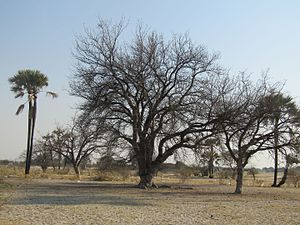Sclerocarya birrea - Marula trees in September, the trees lose their leaves in the winter