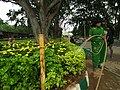 Marygold from Lalbagh flower show Aug 2013 7837.JPG