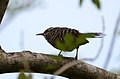 Matraca Tropical, Band Backed Wren, Campylorhynchus zonatus (11915484255).jpg