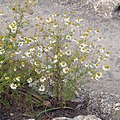 Matricaria chamomilla plant (23).jpg