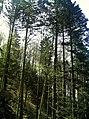 May Greenwood 90 mtr Hochschwarzwald Mount Kandel 1300 mtr wilderness - Master Mythos Black Forest Photography 2013 former bear land - panoramio.jpg