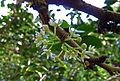 Maytenus canariensis (Jardín Botánico Canario Viera y Clavijo).jpg