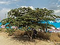 Medicinal tree, eye,diabetic-care,TamilNadu409.JPG