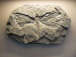 Un fossile de méganeuride, découvert dans l'Allier, en France.