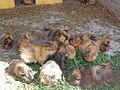 Melitopol Ostrich Farm, Guinea Pigs.JPG
