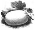 Melon de Malte d'hiver à chair verte Vilmorin-Andrieux 1883.png