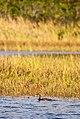 Mergulhão-caçador (Podilymbus podiceps) - Pied-billed Grebe.jpg