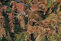 Metasequoia glyptostroboides (Dawn Redwood) (30486401793).jpg