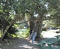 Middle-age man found hanging from a tree, Blue Springs Park, Florida (near Deland). - panoramio.jpg