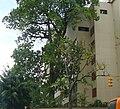 Mijao junto a un edificio en Caracas.JPG