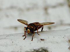 insectes volants qui piquent. Black Bedroom Furniture Sets. Home Design Ideas