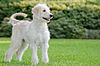 Studied the Available adult golden retrievers wisconsin are