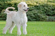 Do Crossbred Dogs Affect Training