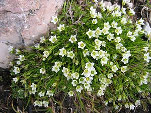 Caryophyllaceae - Minuartia gerardii belongs to a clade traditionally included in the Alsinoideae.