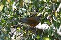 Mirlo Dorso Rufo, Rufous Backed Robin, Turdus rufopalliatus (13362487923).jpg