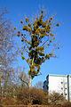 Mistelbaum Marburg 2.jpg