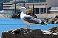 Mittelmeermöwe Monaco IMG 1128.jpg