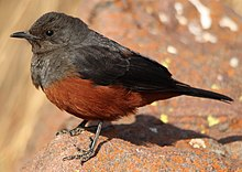 Mocking Cliff Chat - female.jpg