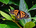 Monarch Butterfly NBG LR.jpg