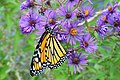 Monarch on New England Aster Sand Lake Wetland Management District (12843155063).jpg