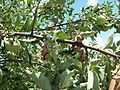 Monilinia disease of apple tree.jpg