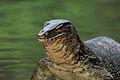 Monitor Lizard (3678622503).jpg