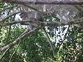 Monkey from wayanad (5).JPG