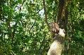Monyet ekor panjang (Macaca fascicularis), Cidaon, Taman Nasional Ujung Kulon, 18082014.jpg