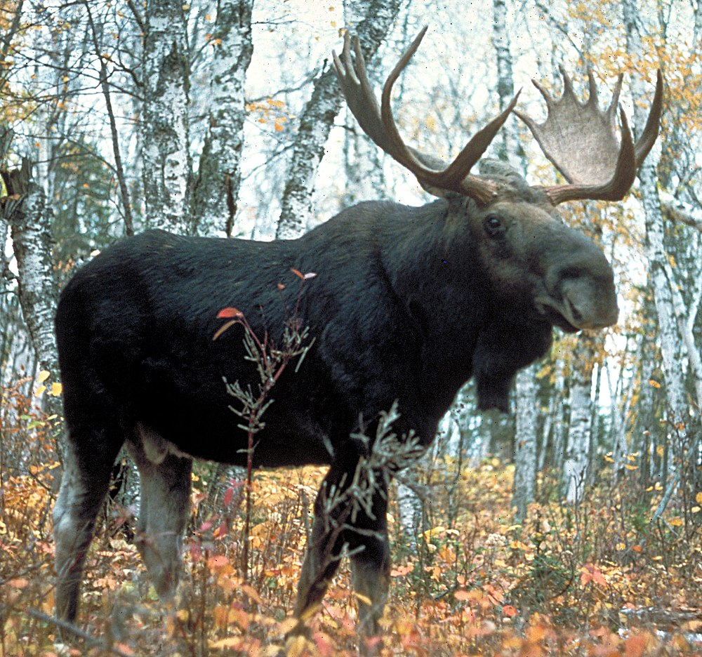 The average litter size of a Moose is 1