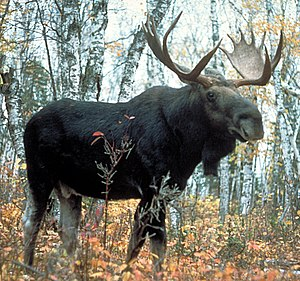 English: Moose, Superior National Forest, Minn...