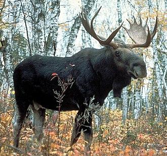 Moose - Male (bull)