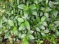 Morinda citrifolia14.jpg