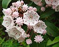 Mountain Laurel (1292338417).jpg