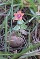 Mouron rouge (Anagallis arvensis).jpg