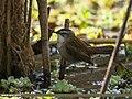 Moustached Warbler (Acrocephalus melanopogon) (42462447804).jpg