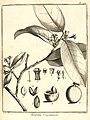 Moutabea guianensis - Aublet (1775) Histoire des plantes de la Guiane françoise.jpg