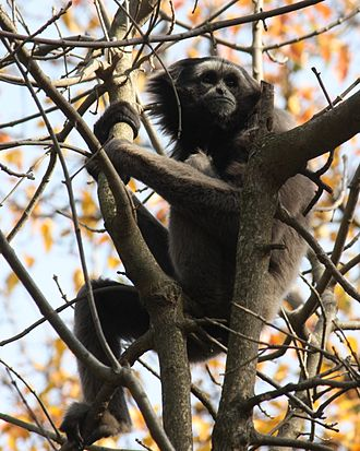 Müeller's gibbon - Captive