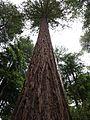 Muir Woods National Monument, CA - panoramio.jpg