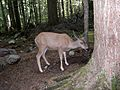 Mule Deer (Odocoileus hemionus) along trail to Avalanche Lake - Flickr - Jay Sturner.jpg