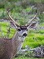 Mule deer (16095749727).jpg