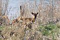 Muntjac Deer - Rutland Water April 2010 (4523544247).jpg