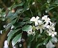 Murraya paniculata 05.jpg