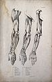 Muscles and bones of the shoulder, arm and hand; three figur Wellcome V0008182EL.jpg