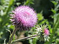 Musk Thistle Fully Open.JPG
