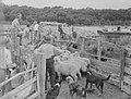 Mustering sheep on to barge (AM 88040-1).jpg