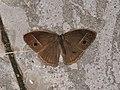 Mycalesis sp. (40410906434).jpg