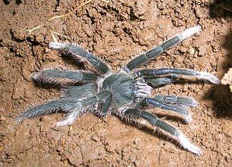Mygalomorphae - Annandaliella travancorica a theraphosid from the Western Ghats