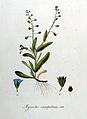 Myosotis caespitosa — Flora Batava — Volume v8.jpg