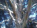 Myrtales - Eucalyptus dalrympleana 6.jpg