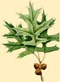 NAS-027g Quercus palustris.png